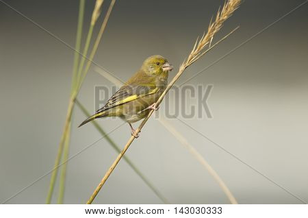 Greenfinch, Carduelis Chloris, Perched On Dry Grass