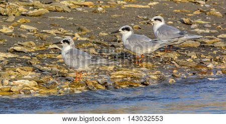 These are Forster's Terns, which are located on an island off of the Cooper River near Hilton Head, South Carolina.