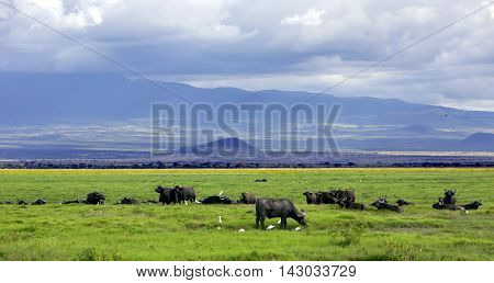 Herd of African Buffalo is a large African mammal in Maasai Mara National Park, Kenya
