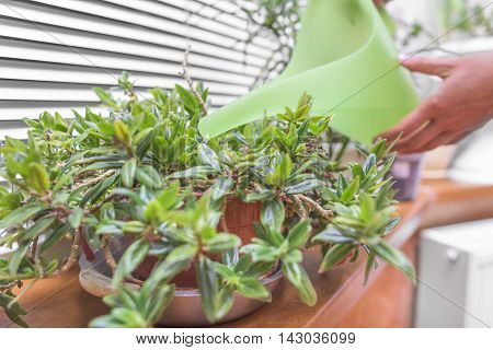 Watered houseplants using a watering can. Close-up.