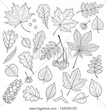 Vector set of different, isolated, detailed outline tree leaves, bunch of Rowan and pine cone on white background. Hand drawn illustration in black color for design.