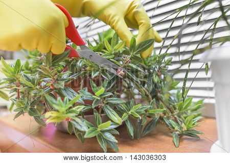 Pruning with scissors of dry leaves on houseplants. Close-up.