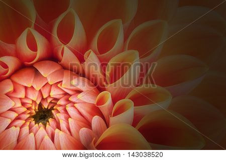 Orange flower petals, close up and macro of chrysanthemum, beautiful abstract background.