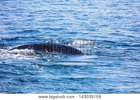 Whale in Cape Cod Massachussetts United States