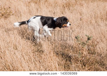 Cocker Spaniel dog hunts in the field