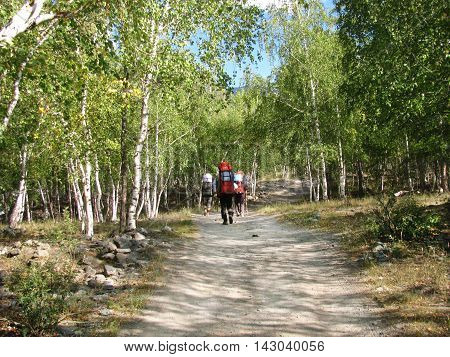 Tourists walking along the road between birches. Wild nature. Altai. Adventure Tour.