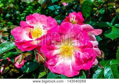 Pink Dog Rose (Wild Rose or Wild Briar) in a garden hedge.