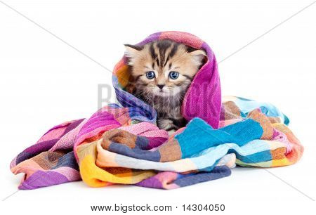 Kitten Pure Breed Striped British In Colorful Tippet Or Scarf Isolated
