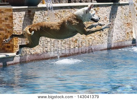 Dog caught mid-air over the water of the swimming pool