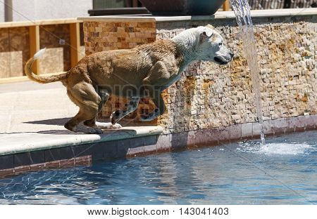Dog on the edge of a pool ready to jump in