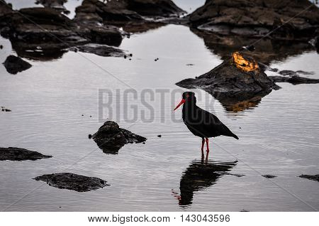 Black bird in Curio Bay the Southern Scenic Route New Zealand