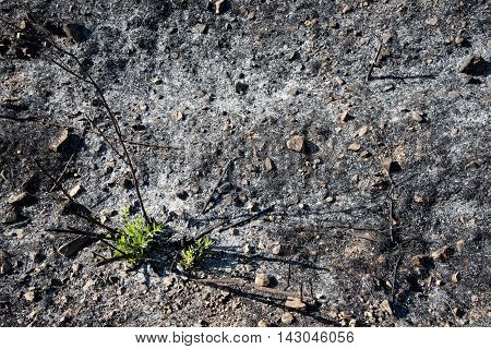 Plants started to grow from ashes after a fire