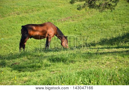 Brown horse grazing fresh grass on a mountain field in summertime