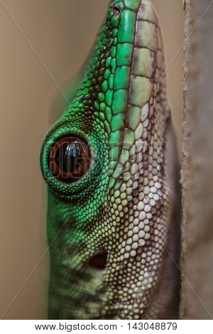 Close up shot of the head of gecko on the tree branch in a forest. Madagascar