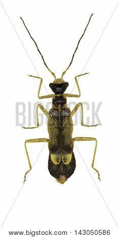 Soldier Beetle Malthinus on white Background  -  Malthinus biguttatus (Linnaeus, 1758)