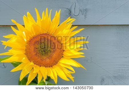 Sunflower growing on a rustic background of painted wood