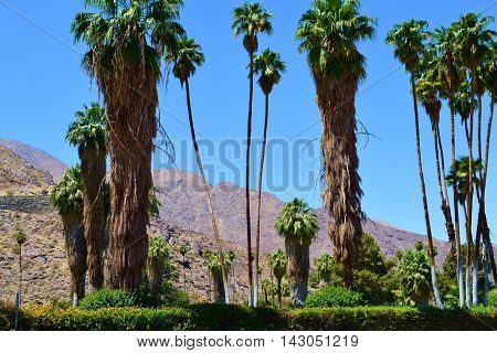 Palm Trees in lush gardens with arid mountains beyond taken in Palm Springs, CA