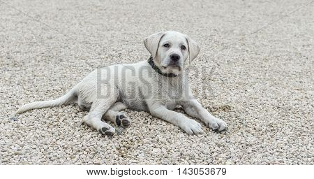 Labrador puppy lying on the floor and looks sweet - loyal dog