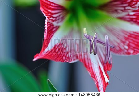 A white and red Amaryllis growing in a garden