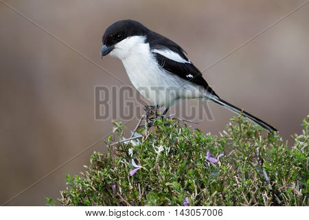 Male Fiscal Shrike Bird with Hooked Beak Perched on Top of a Tree