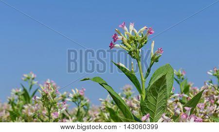 Tobacco Plant Flowers