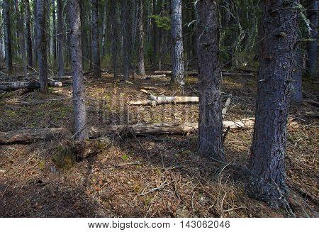 Light barely sneaking into a dark forest in Saskatchewan Canada
