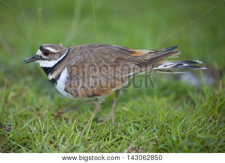 Killdeer that is staying very close to its nest and eggs in the background
