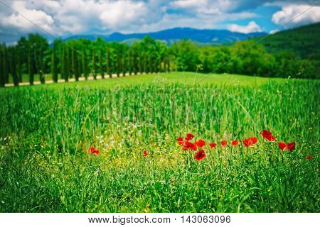 Grass field with poppies in Italy, Toscana, toned image
