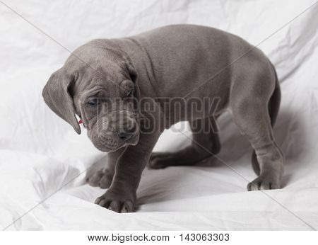 Puppy that is a purebred Great Dane blue on a white sheet