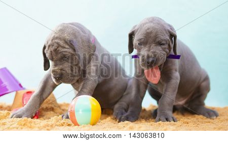 Two Great Dane puppies who look like they have eaten bad food