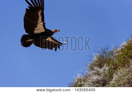 American Condor spotted above Route 1 (SR 1) near Big Sur, California, USA. A rare and endangered species of birds. A number tag and a GPS tracking devices are attached to wings of every known bird in the US.