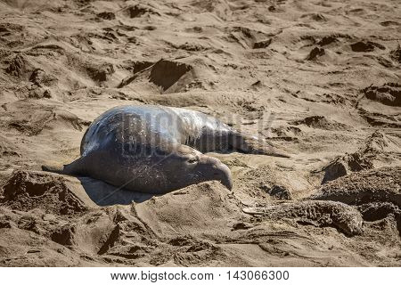 Elephant seal harem with blue alpha male looking at dead seal pup skeleton in San Simeon, California