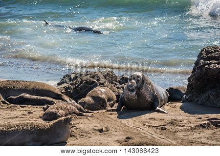 Elephant seal harem with blue alpha male during mating season near San Simeon, California