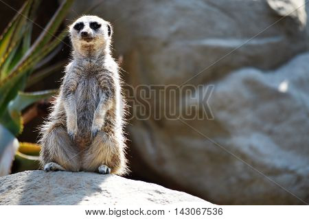 A meerkat keeps an alert eye on his surroundings