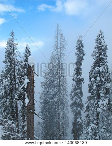 giant Himalayan pine trees covered with snow on a hillside in the impending cloud