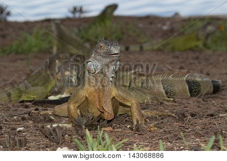 Green Iguana facing the observer in a foraging group