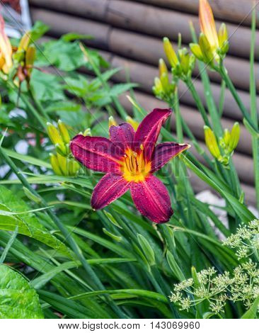 Brilliant red day lilies blooming against a wooden log wall in summer add color to the urban street scape with their graceful flowers and buds.