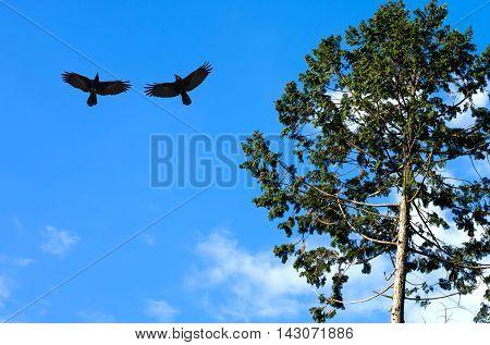 Silhouette of crows (Corvus brachyrhynchos) flying against blue sky