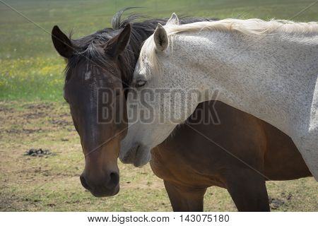 Intimate moment between a couple of horses in love