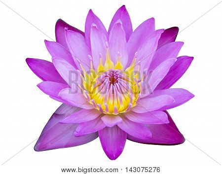 Purple Lotus Flower Isolated On White With Clipping Path