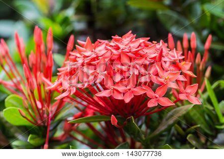 Red flower spike, Rubiaceae Ixora coccinea background.