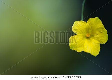 Yellow golden shower flower (Cassia fistula) ,Flower of Thailand