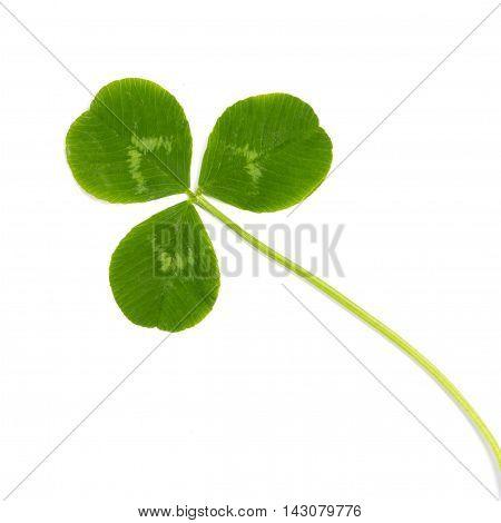 green leaf wild trefoil clover isolated on white background