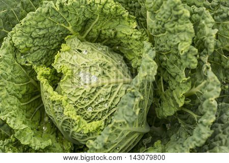 An isolated head of cabbage in the garden