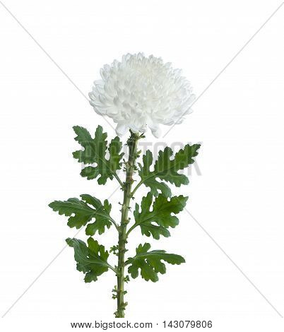 flower white chrysanthemum on a long stem with green leaves isolated white background