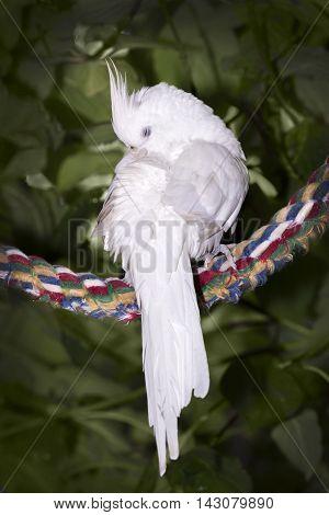 Preening pet cockatiel on perch set in tree
