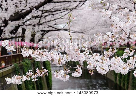 close up of cherry blossom season In tokyo, japan