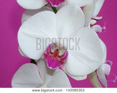 Close-up of a white Phalaenopsis orchid flower on a fuchsia background