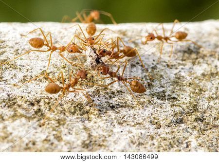 Red Leaf Cutter Ants Hive Behaviour Carrying Food From Fruiting Tree Asia