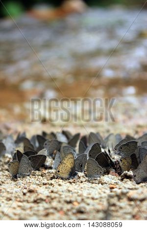 Butterflies Gray flock for food on the ground and riverside